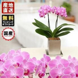 胡蝶蘭 ミニ 胡蝶蘭 ミディ 胡蝶蘭 ギフト クローム鉢 4号鉢 2本立 ピンク/お花 プレゼント 開店祝い 母の日 父の日 お祝い 贈り物
