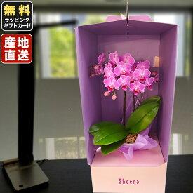 胡蝶蘭 ミニ 胡蝶蘭 ミディ ミディー胡蝶蘭 4号鉢植え L2本立て ドレスケース入り /お中元 ギフトに花のプレゼント 開店祝いに 母の日 父の日