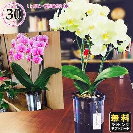 胡蝶蘭 ミニ 胡蝶蘭 ミディ タンブラーポット4号鉢植え 2本立て ピンク イエロー/お中元 ギフトに花のプレゼント 開店祝いに 母の日 父の日