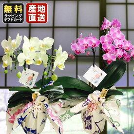 胡蝶蘭 ミニ 胡蝶蘭 ミディ yukata de 胡蝶蘭 4号鉢植え 2本立て ピンク イエロー /お中元 ギフトに花のプレゼント 開店祝いに 母の日 父の日
