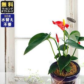 胡蝶蘭 ミニ 胡蝶蘭 ミディ マイクロアンスリウム アクアポット 2.5号鉢植え ピンク ダークブルー スカイブルー グリーン /お中元 ギフトに花のプレゼント 開店祝いに 母の日 父の日