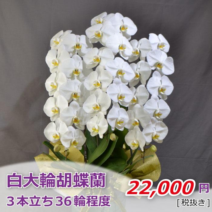 胡蝶蘭 白 大輪 3本立ち 36輪程度 つぼみ含む【お花 フラワーギフト お祝い プレゼント】