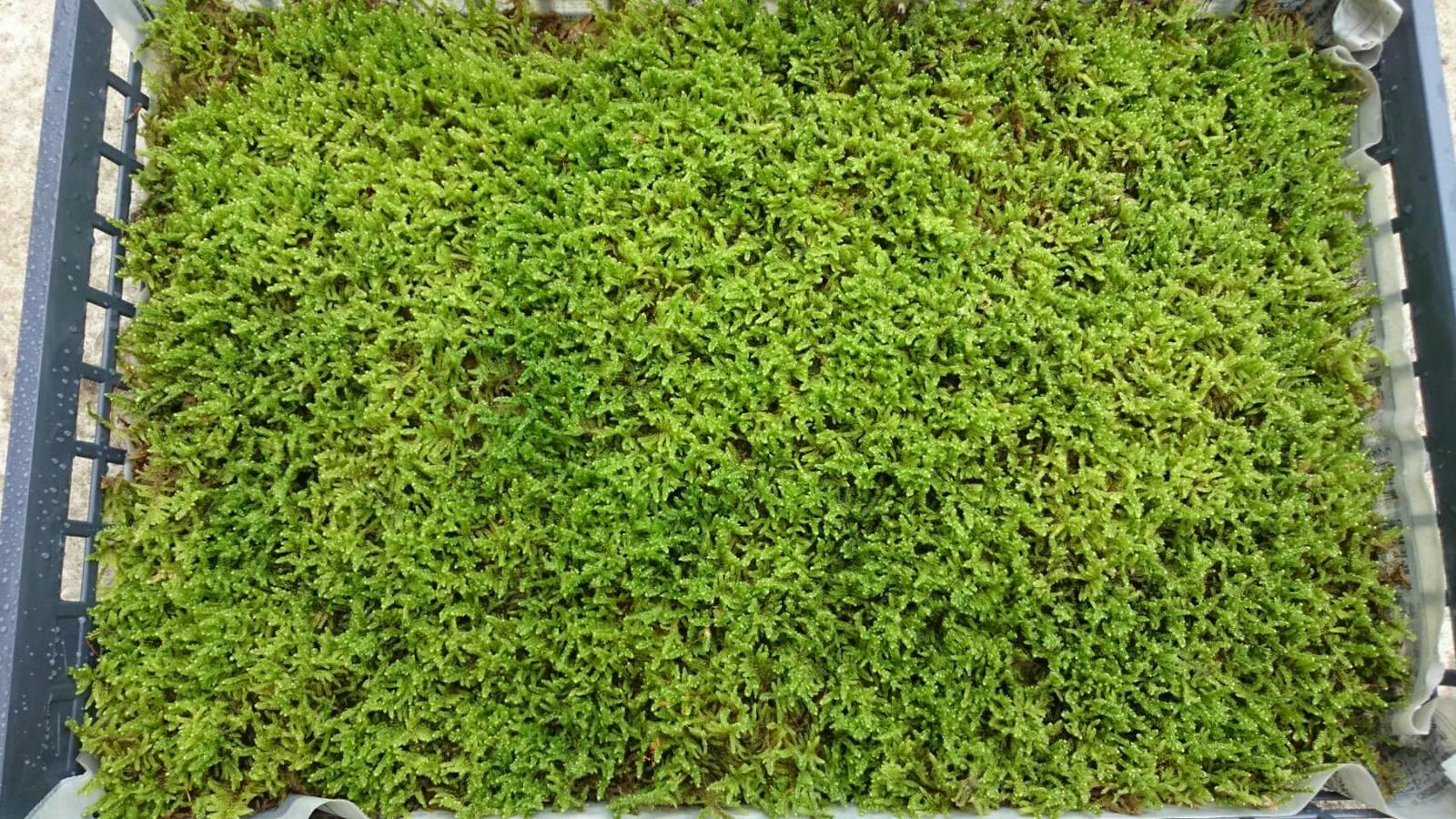 栽培品 ハイゴケ 大トレー 55×37 苔玉 テラリウム 造園素材等 管理説明書付き