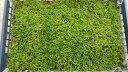 栽培品 ハイゴケ 50×35トレー入り 苔玉 テラリウム 造園素材等 管理説明書付き