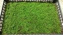 シノブゴケ 大トレー 55×37 苔玉 テラリウム アクアリウム 造園素材等 管理説明書付き