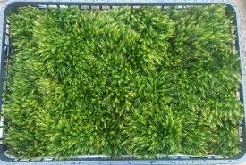 苔 【ヒノキゴケ 55×37 大トレーサイズ】 テラリウム アクアリウム 管理説明書付き コケ 盆栽 こけ