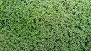 スナゴケ 60×30 育苗箱サイズ 庭園 緑化 造園素材