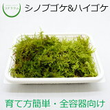 コケコンビ(ハイゴケ&シノブゴケ)