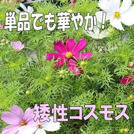 ◆コスモス 矮性 ミックス 苗 9センチポット 3号 秋桜 こすもす