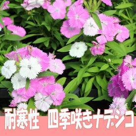 ◆四季咲き ナデシコ ベルフィー ブラッシュピンク 9センチポット 3号  なでしこ 撫子