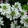 ポツポツ咲くのがかわいい!宿根イベリスキャンディータフト9センチポット3号