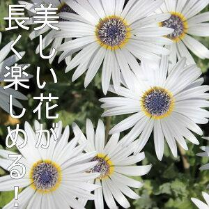 【アークトチス】グランディス花苗