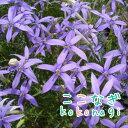 ◆選べる3色 イソトマ 苗  9センチポット 3号 【P08Apr16】