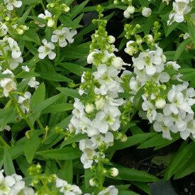 アンゲロニア ホワイト (serena series) 苗 3号 9センチポット