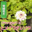 ◆ヒメイワダレソウ リピア リッピア 苗 9センチポット 3号 【P08Apr16】