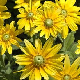 ◆【品評会受賞花】ルドベキア プレーリーサン 9センチポット 3号