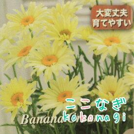 シャスターデージー レウカンセマム バナナクリーム 10.5センチポット 3.5号