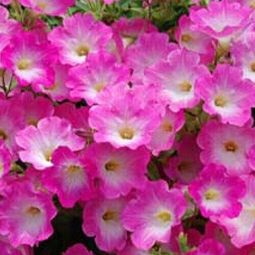 ◆ペチュニア 下垂性 ウェーブ ピンクモーン 苗 9センチポット 3号