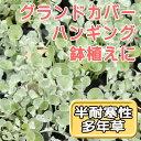 ◆ディコンドラ シルバーフォール  苗 9センチポット 3号 【P08Apr16】