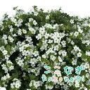 ◆大輪バコパ スコーピア スノーホワイト 苗 9センチポット【05P26Mar16】