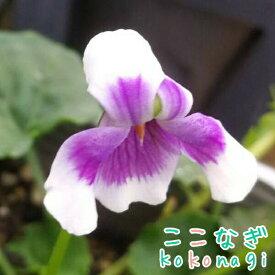 ◆素朴な可愛さ パンダスミレ 9センチポット 3号