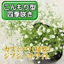 ◆カスミソウ(矮性)ジプシーホワイト 9cm 3号【P14Nov15】
