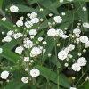 宿根カスミソウ八重咲高性種9センチポット3号