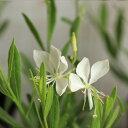 【オリジナル】まっ白なガウラ(白蝶草/白鳥草)ピュアホワイト 苗 9センチポット 3号 【05P05Sep15】