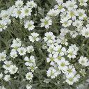 ◆セラスチューム (夏雪草) 苗 9センチポット 3号 【P08Apr16】