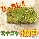 【砂苔】混じりけなしのスナゴケ こけ コケ 苔