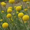 これ、花なんです。クラスペディアゴールデンスティック9センチポット3号