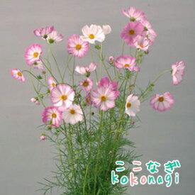 ◆高性コスモス ピンクピコティー 苗 9センチポット 3号