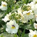 ◆ネメシア インプレシア ホワイト 10.5センチポット 3.5号 【05P26Mar16】