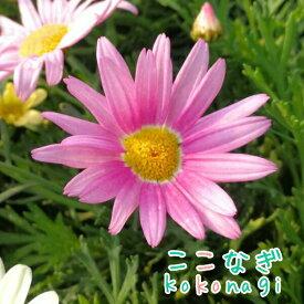 四季咲きマーガレット アンジェリク ジャイアントピンク エンジェリックシリーズ 10.5センチポット 3.5号