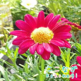 四季咲きマーガレット アンジェリク バーガンディー エンジェリックシリーズ 10.5センチポット 3.5号