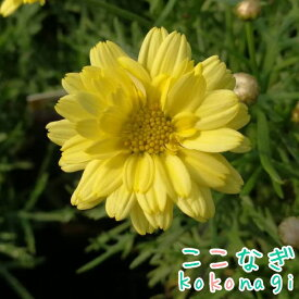 四季咲きマーガレット アンジェリク エンジェルメイズ エンジェリックシリーズ 10.5センチポット 3.5号