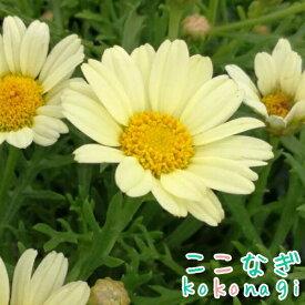 四季咲きマーガレット アンジェリク レモンパステル エンジェリックシリーズ 10.5センチポット 3.5号