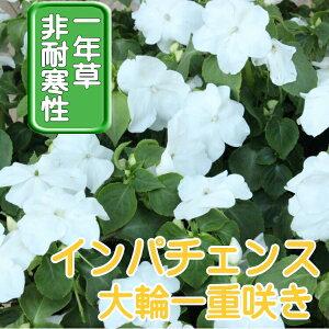 【送料無料・12Pセット】インパチェンス ホワイト 苗 9センチポット 3号 花苗セット