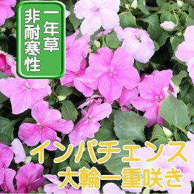 【送料無料・12Pセット】インパチェンス ピンク 苗 9センチポット 3号 花苗セット