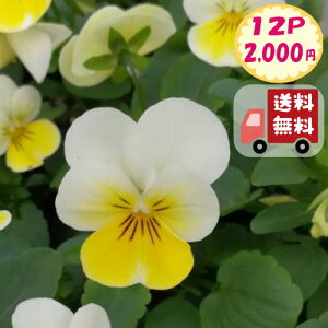 【送料無料・12Pセット】ビオラ 'クリームイエローリップ' フローラルパワーシリーズ 9センチポット 3号 花苗セット