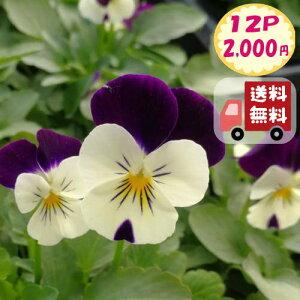 【送料無料・12Pセット】ビオラ 'ホワイトジャンプアップ' 9センチポット 3号 花苗セット