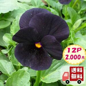 【送料無料・12Pセット】ビオラ ブラック 9センチポット 3号 花苗セット