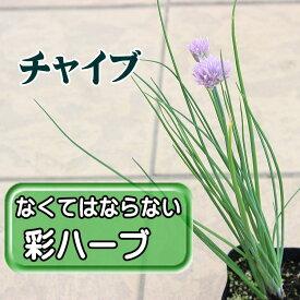 ◆チャイブ 苗 ハーブ 9センチポット 3号