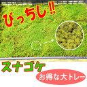 【砂苔】混じりけなしのスナゴケ 大トレー入り  こけ コケ 苔 【05P07Feb16】