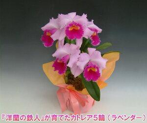 【産地直送・送料無料!】『洋蘭の鉄人』森田氏が育てたカトレア5輪 ※花持ち期間は約1週間です。花色は季節によって多少異なります。 【楽ギフ_包装選択】【楽ギフ_メッセ入力】出荷