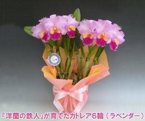 【産地直送・送料無料!】『洋蘭の鉄人』森田氏が育てたカトレア6輪 ※花持ち期間は約1週間です。花色は季節によって多少異なります。 【楽ギフ_包装選択】【楽ギフ_メッセ入力】出荷