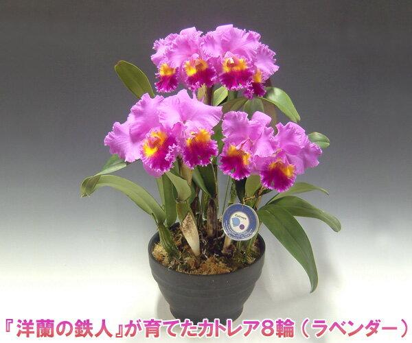 【産地直送・送料無料!】『洋蘭の鉄人』森田氏が育てたカトレア8輪 ※花持ち期間は約1週間です。花色は季節によって多少異なります。 【楽ギフ_包装選択】【楽ギフ_メッセ入力】