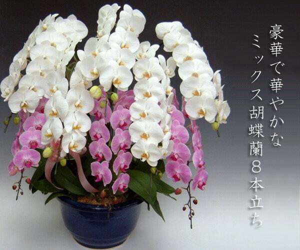 【送料無料・産地直送】『洋蘭の鉄人』森田さんが育てたミックス胡蝶蘭8本立ち(80リン前後・つぼみ含む) ※お届けは関東限定となります。