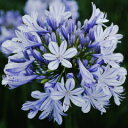オリジナル常緑品種! 見事な花付き!アガパンサス'青い空'苗 1株