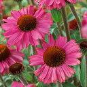 性質強靭で栽培容易!エキナセア 'ピンク パッション'苗 1株